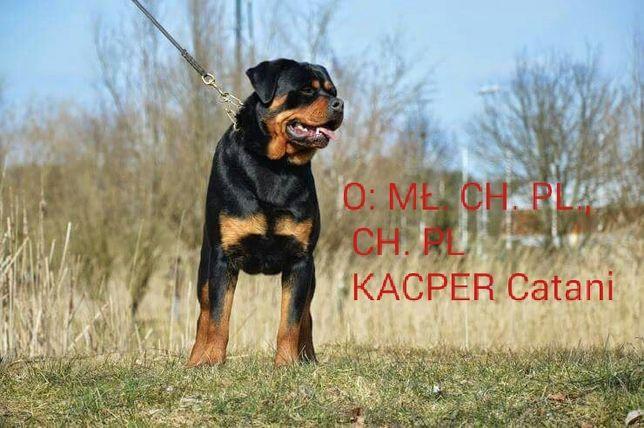 Rottweiler/Rottweilery-szczeniaczki ZKwP (FCI)