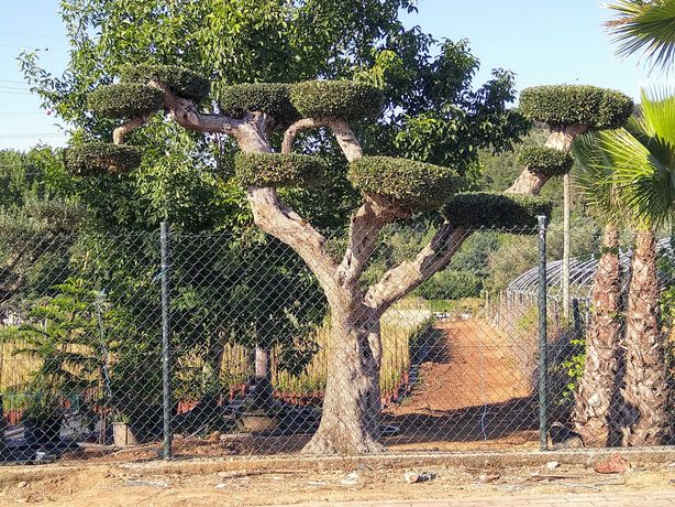 Oliveiras Bonsai Jardim