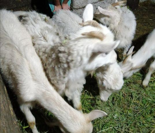 Продам річних кіз