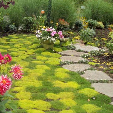 Ирландский мох (мшанка) - зимостойкий, вечнозеленый, замена газонов.