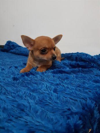 Magnífico Macho Chihuahua Miniatura com LOP