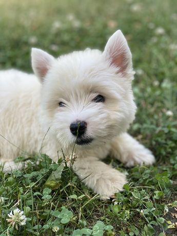 West highland white terrier - szczenięta