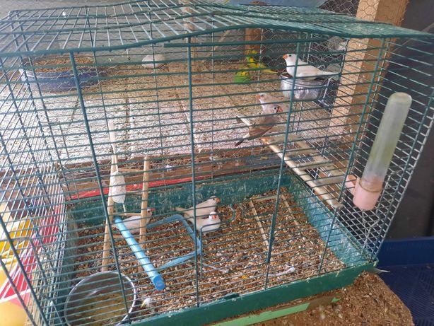 Zeberki samce samiczki młode klatki na papugi faliste nimfy kanarki