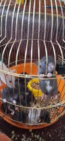Продаются крысята