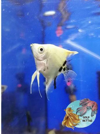 Peixes Escalares