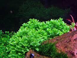 Аквариумные растения, не прихотливые рекомендуемые для переднего плана
