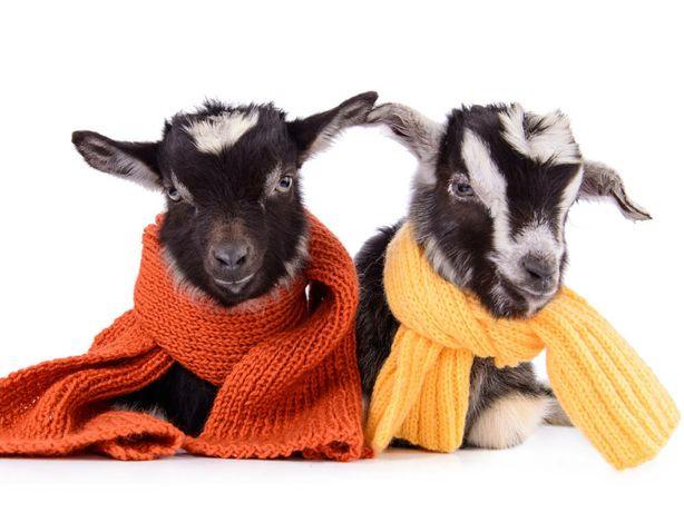 Продам дійні кози, козинята та молоді ягнята