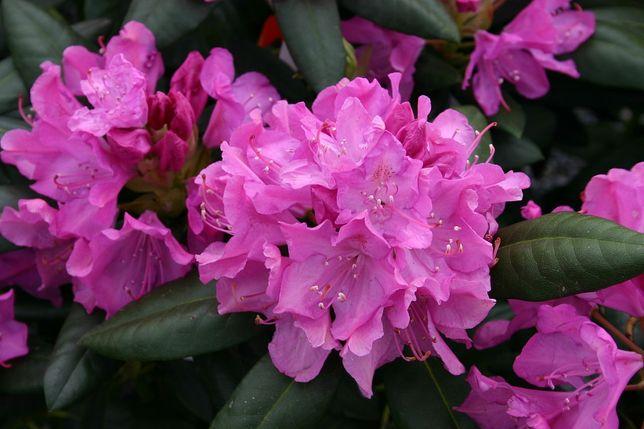Rhododendron Roseum Elegans Рододендрон Розеум Елеганс