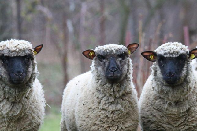 Owce Shropshire