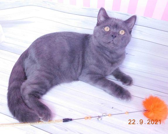 Чистопородный котик скоттиш страйт
