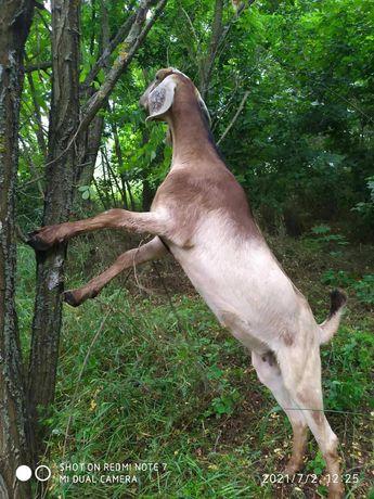 Продается АН коза.