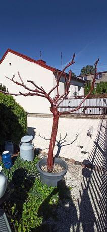 Duże ozdobne drzewo w donicy.