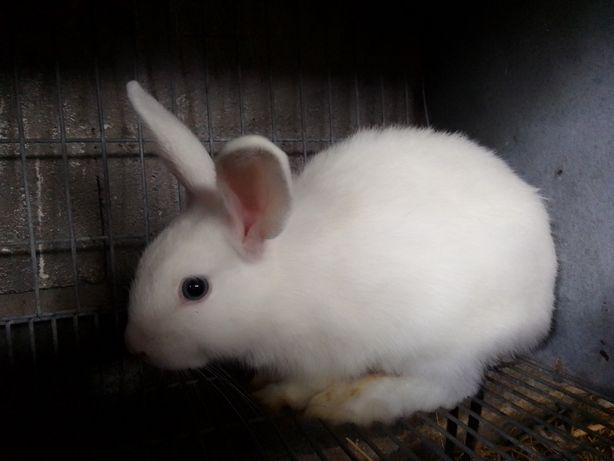 Vendo coelho Anão