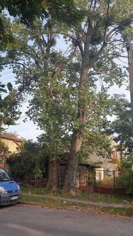 Drzewo drewno pocięte łódź górna TOPOLA ANGIELSKA obwód 170 cm