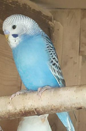 Papużka Falista- samczyk.