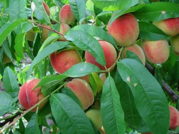 Саженцы персиков более 20 сортов 100% приживаемость