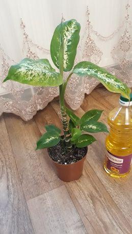 Дифенбахия кустовая, цена за растение на фото