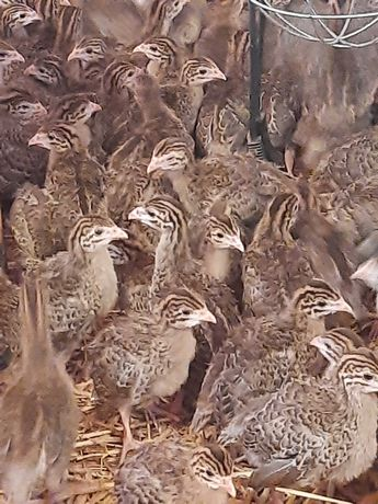 Perliczki mięsne 2,5-tygodniowe brojlery kaczki mięsne, gęsi