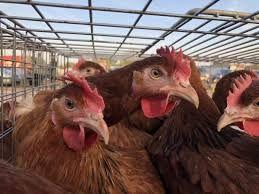 Kury mlode Nioski z jajkiem kurki z dowozem na całe województwo GRATIS