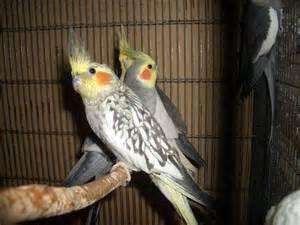 nimfy ,papugi faliste oraz zeberki