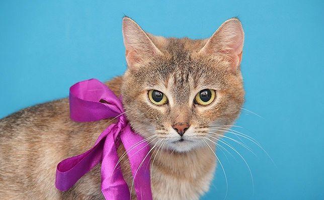 отдам полосатую кошку, 1,5, года, стерилизована