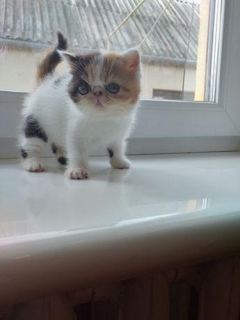 Продаются шикарные котята породы Экзоты!