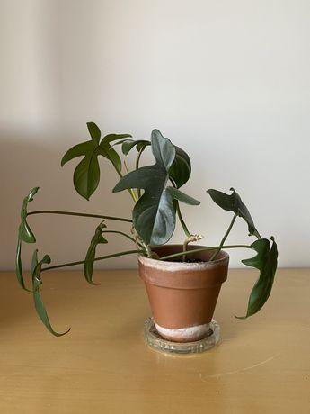 Philodendron pedatum, dwupędowa sadzonka