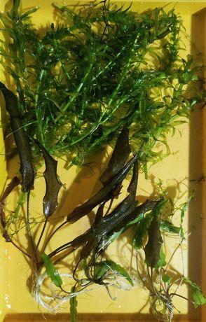 Криптокорина и элодея - растения для аквариума