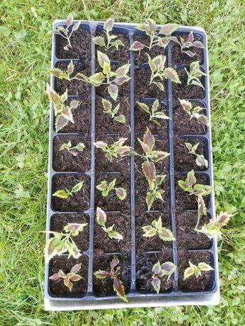 Koleusy sadzonki rośliny ozdobne