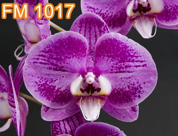 Орхидея Малиновый Великан
