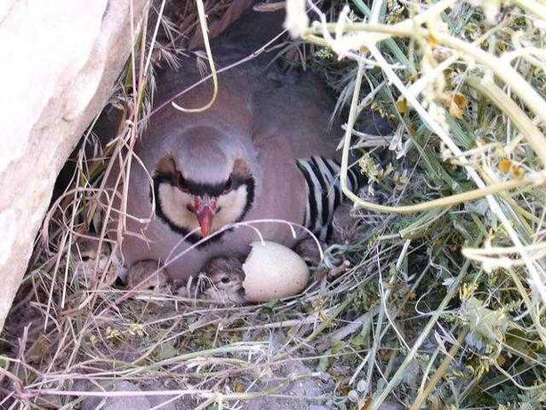 Продам инкубационное яйцо горной куропатки(каменная куропатка,кеклик)
