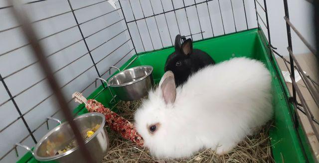 Parka królików miniaturek