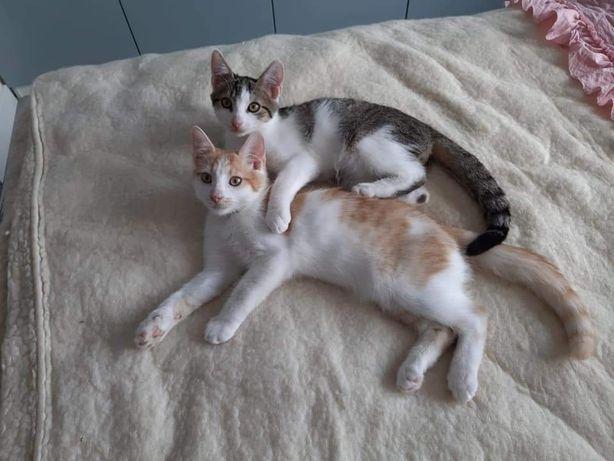 Kaziu i Czesiu - kociak, kociaki, kot, koty szukają domów!