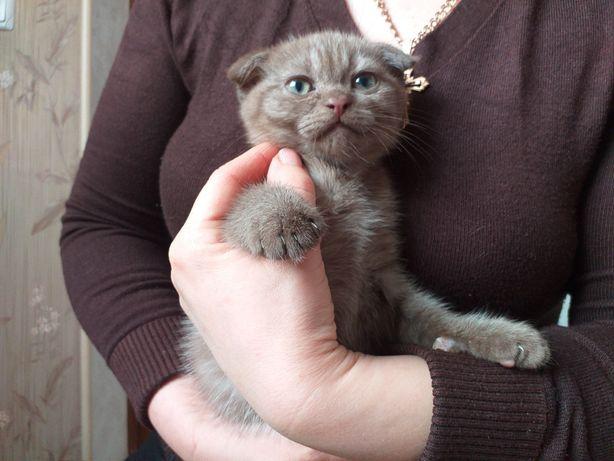 Шотландський висловухий котик ( хлопчик)
