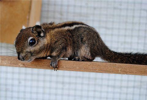 Wiewiórka wiewiórki chinskie
