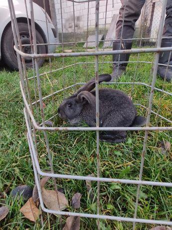 Młode króliki czarne