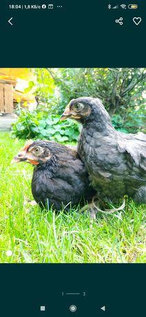 Цыплята марана и амераукана