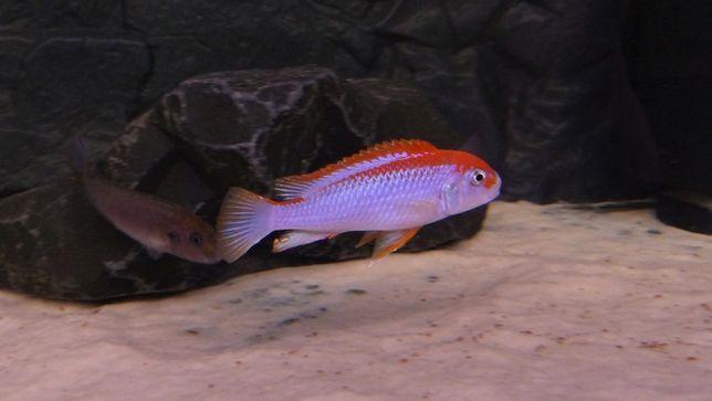 Pseudotropheus Perspicax Orange Cap Ndumbi