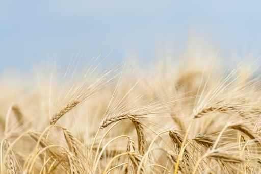 Skup zbóż pszenica pszenżyto żuto