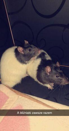 Oddam roczne szczurki w dobre ręce