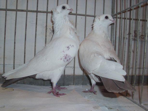 dryjery dryjer gołębie ozdobne - para