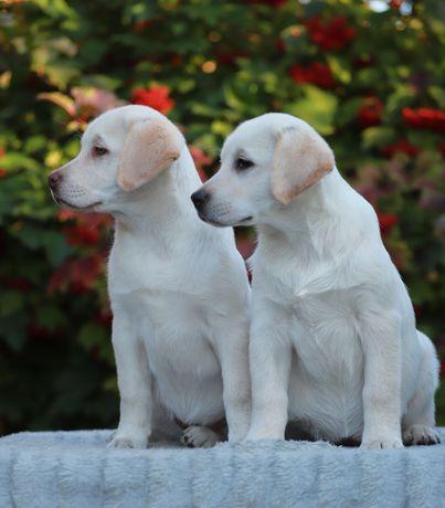 Лабрадор ретривер клубные щенки-очень перспективные девочки
