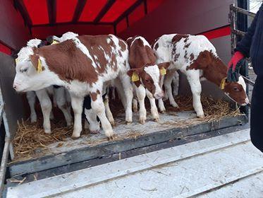 jałoweczki i byczki