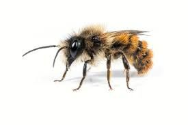 Pszczoły murarki przedsprzedaż
