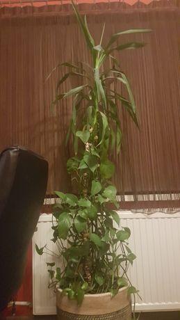 Scindapsus oraz yuka 2 w 1 kwiaty doniczkowe domowe