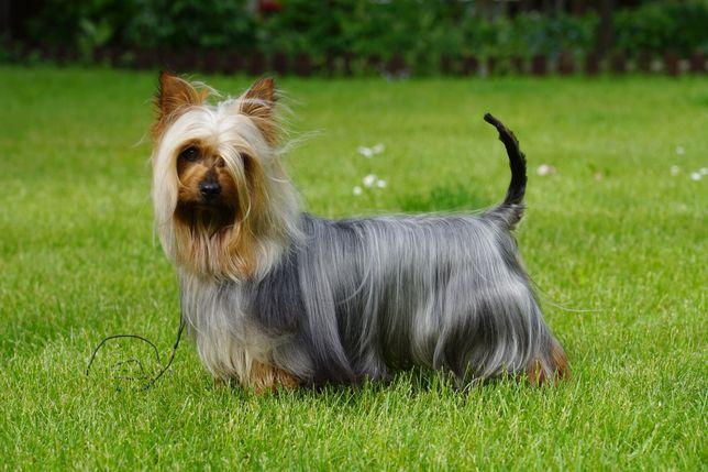 Australijski silky terrier (nie york) FCI