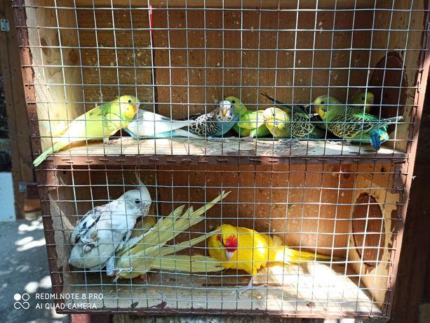 Sprzedam papugę samiec nimfy