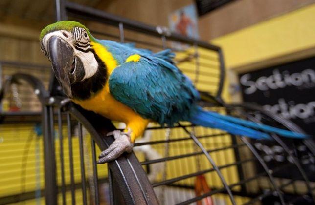 Ара сине желтый взрослая птица в наличии!