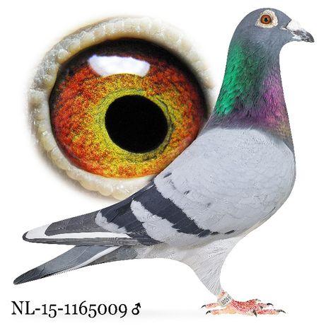 Młode 2021 Para nr 13 Poortviliet x Gaston Wowe Gołąb gołębie pocztowe
