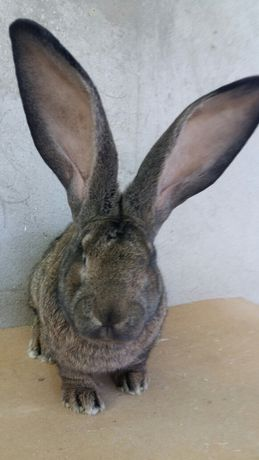 Продам кроликов порода Фландр